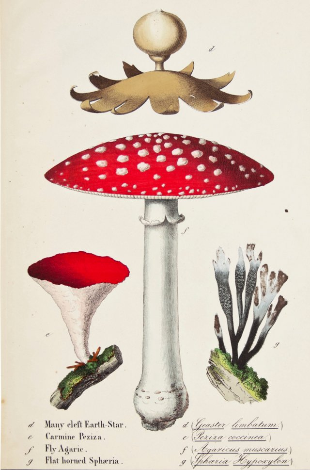 Hand-Colored Mushrooms, 1857