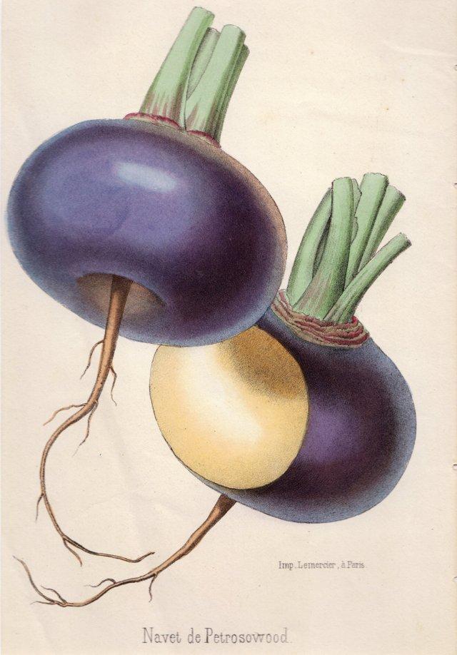 Hand-Colored Turnips, C. 1850