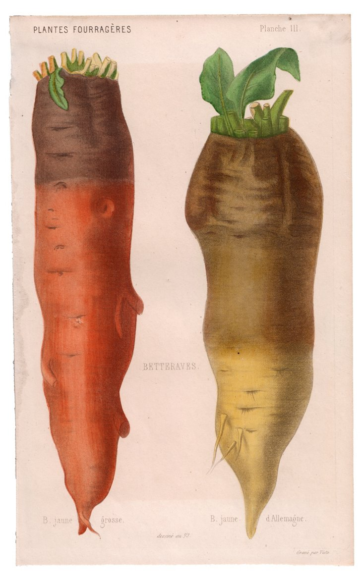 Hand-Colored Heirloom Carrots, C. 1830