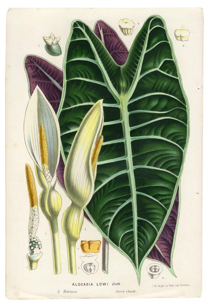 Alocasia Lowi Lithograph, 1845
