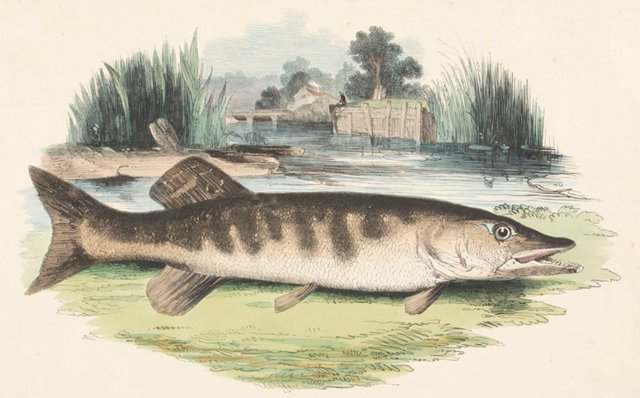 Hand-Colored Pike Engraving, 1843