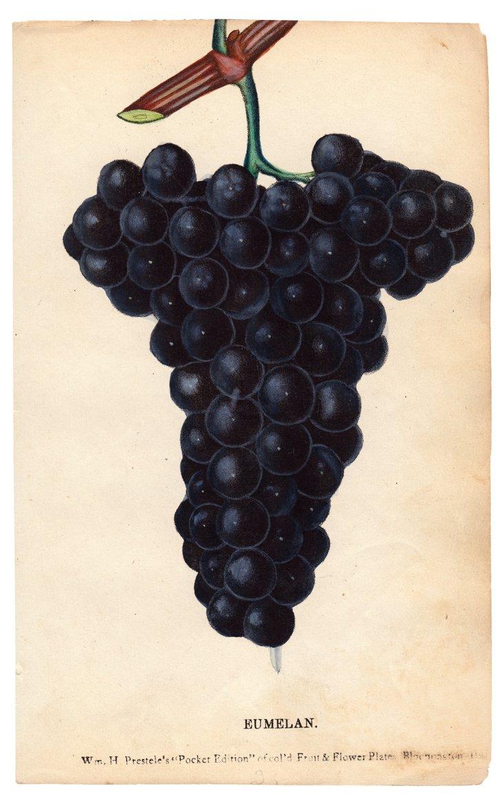 Hand-Colored Grape Lithograph, C. 1890