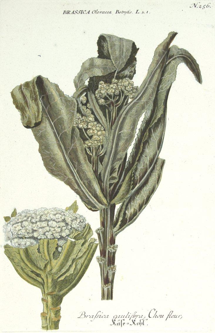 Weinmann Cauliflower Engraving,  C. 1737
