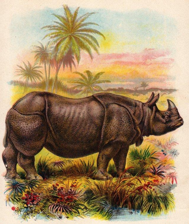 Rhinoceros Chromolithograph, 1902