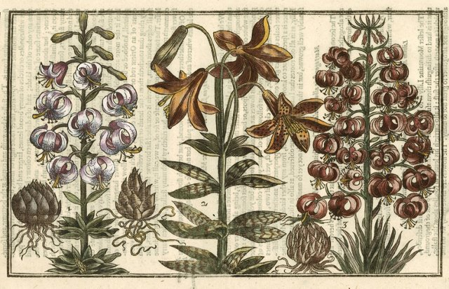 Hand-Colored Lillies, 1629
