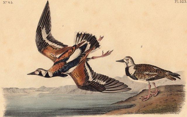 Audubon Turnstone Lithograph, C. 1850