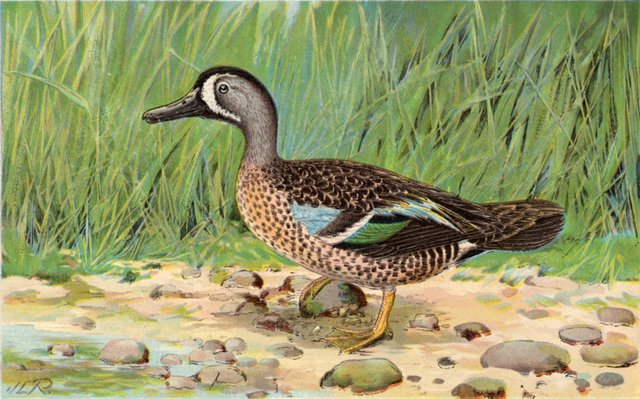 Blue-Winged Teal, C. 1915