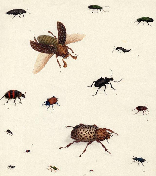 Watercolor of  Various Beetles, C. 1830