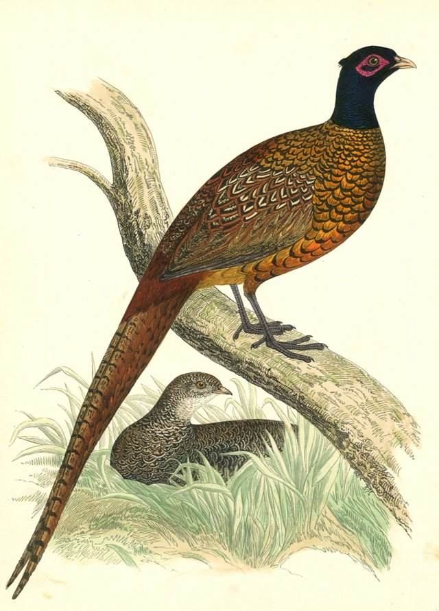 Hand-Colored Pheasant Engraving, 1855