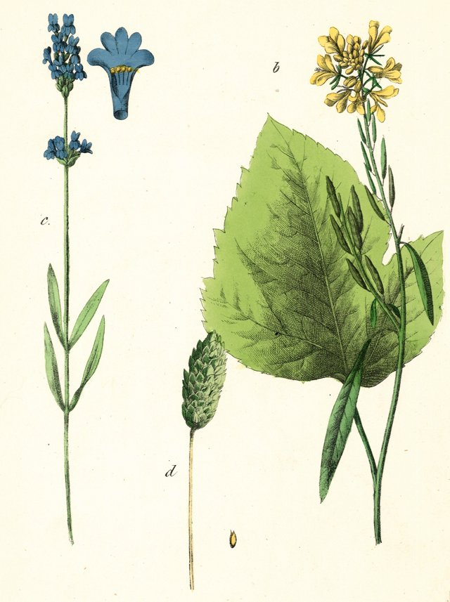 Hand-Colored Mustard and Lavender, 1857