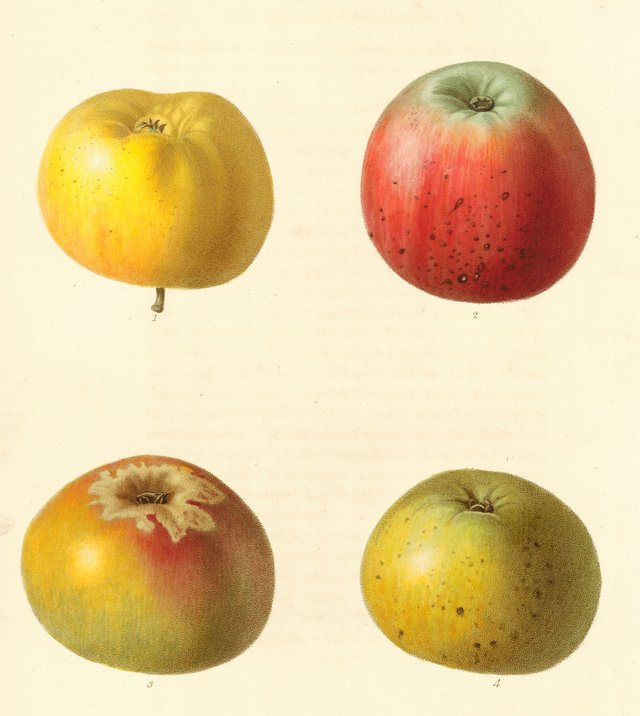 19th-C. Hand-Colored Apples