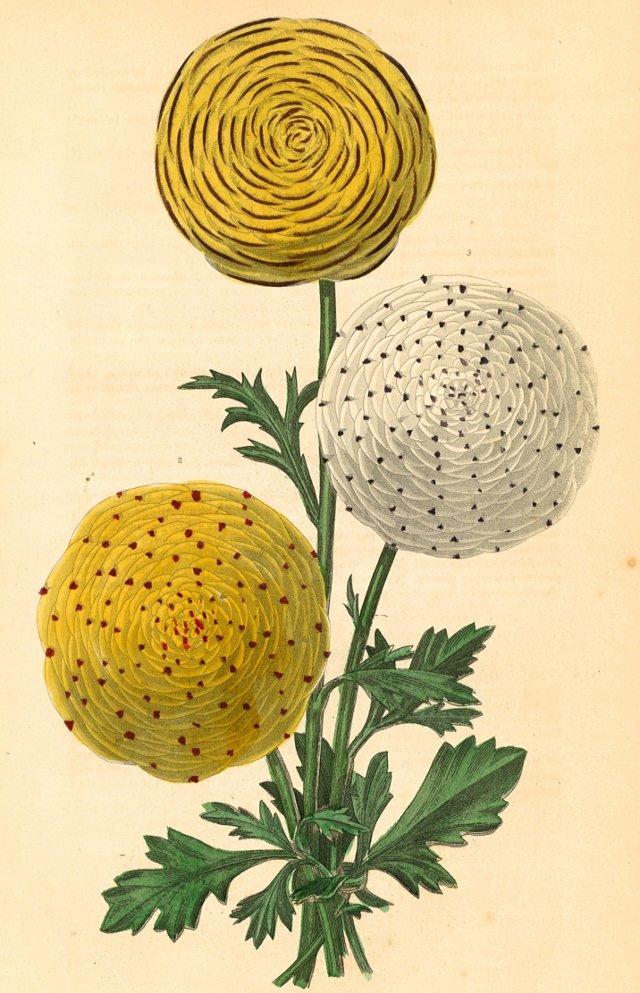 Hand-Colored Ranunculus, C. 1830