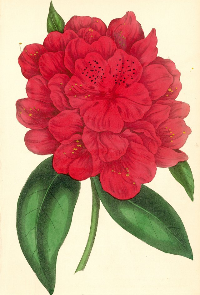 Hand-Colored Rhododendron, C. 1830