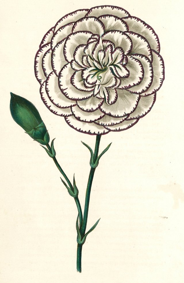 Hand-Colored Carnation, C. 1830