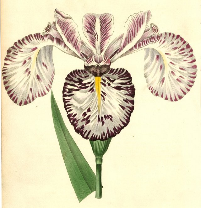 Hand-Colored Iris, C. 1830