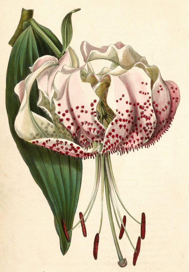 Hand-Colored Japanese Lily, C. 1830