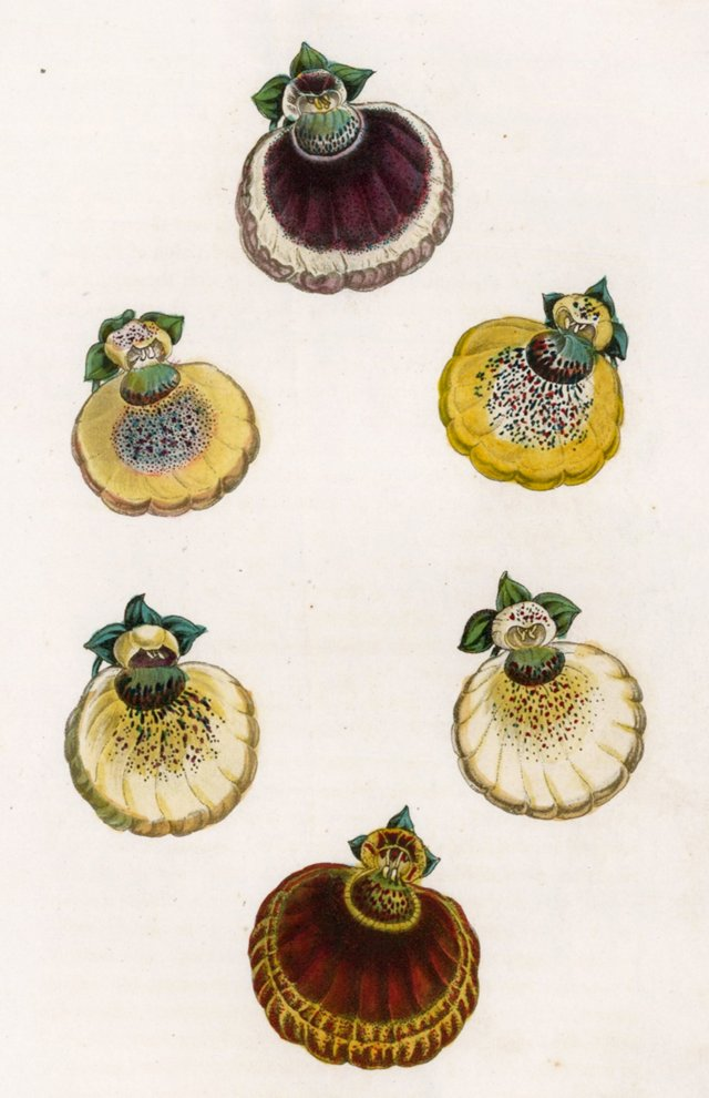 Hand-Colored Calceolaria, C. 1830
