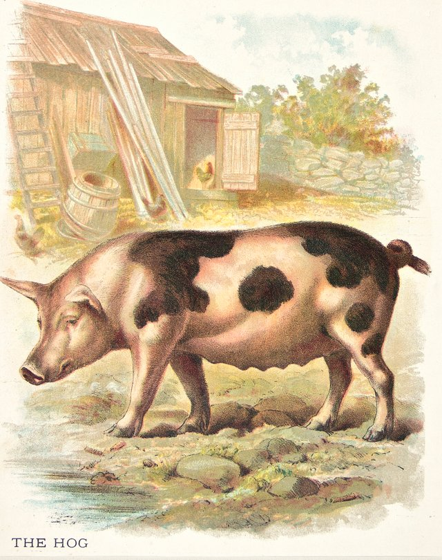Spotted Pig Chromolithograph, C. 1900