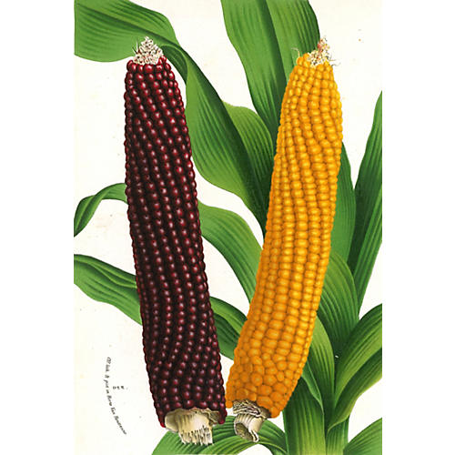 Indian Corn Chromolithograph, 1873