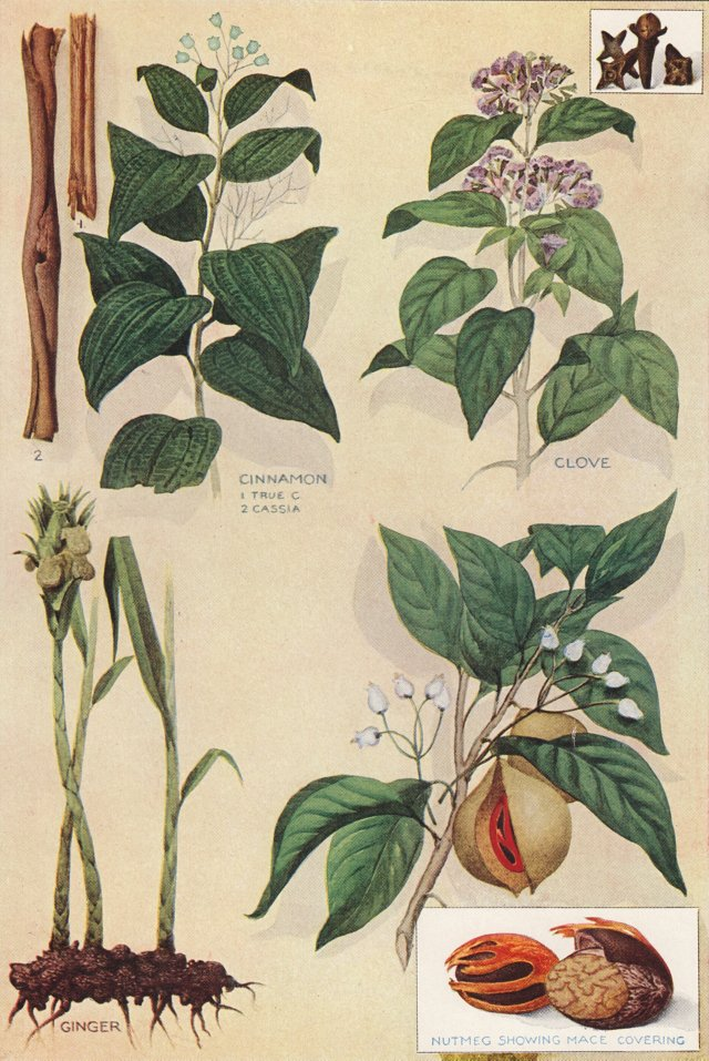 Lithograph of Herbs and Spices, 1911