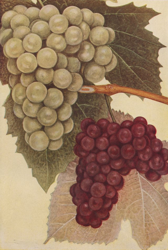 Lithograph of Grapes, 1911