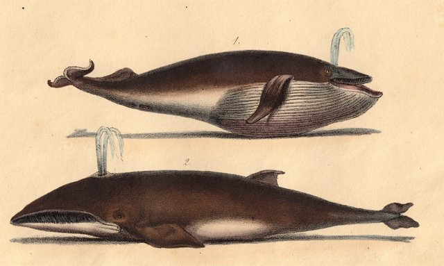 Hand-Colored Spouting Whales, 1836