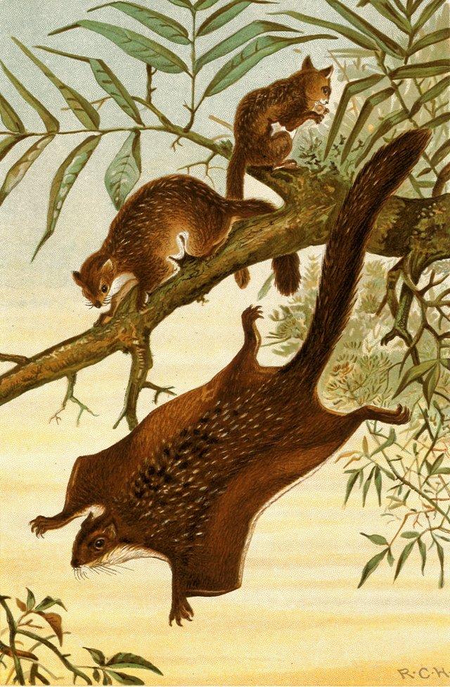 Flying Squirrels, 1904