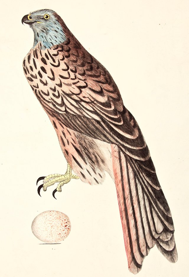 19th-C. Watercolor of a Kite & Egg