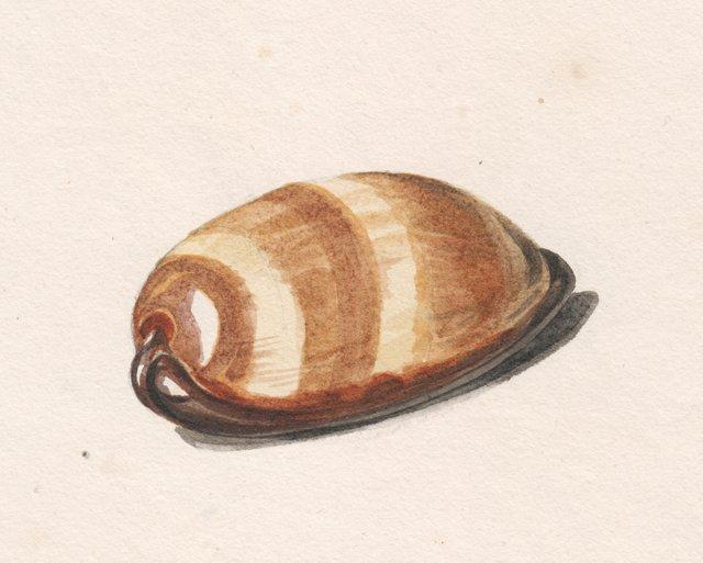 Mole Cowrie Seashell Watercolor