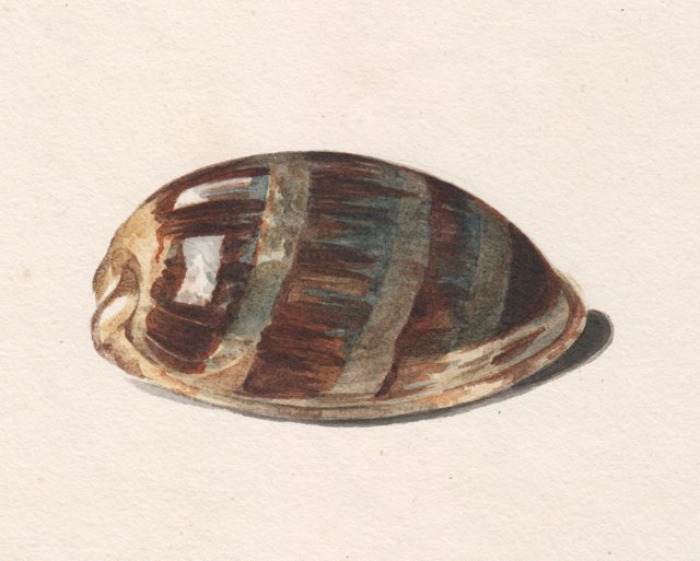 19th-C.   Cowrie Seashell Watercolor