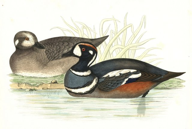 Hand-Colored Harlequin Ducks, 1855