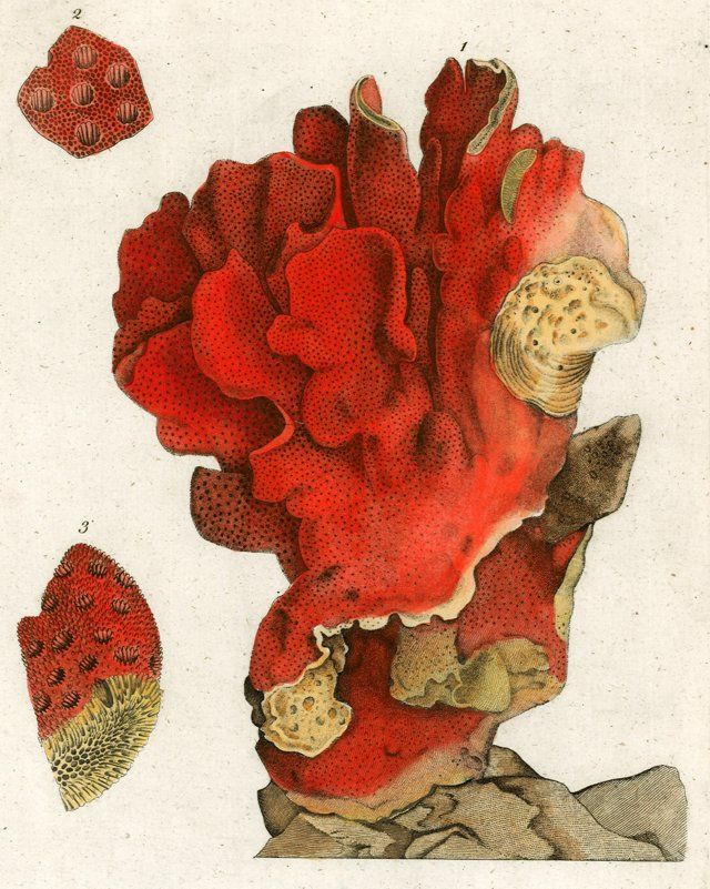 Madrepore Coral Engraving, C. 1786