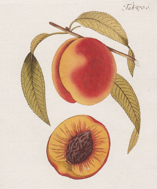 19th-C. Hand-Colored Peach Engraving