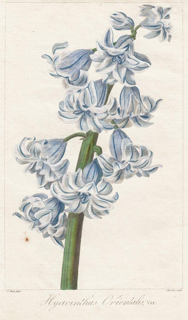 Hyacinth Engraving by Bessa, 1816