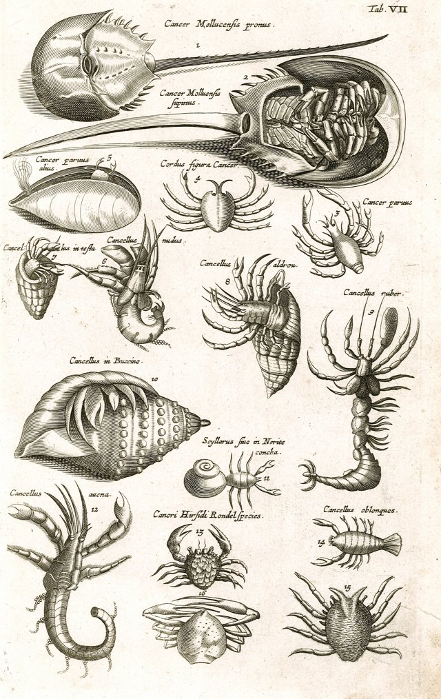 Engraving of Horseshoe Crabs, C. 1650