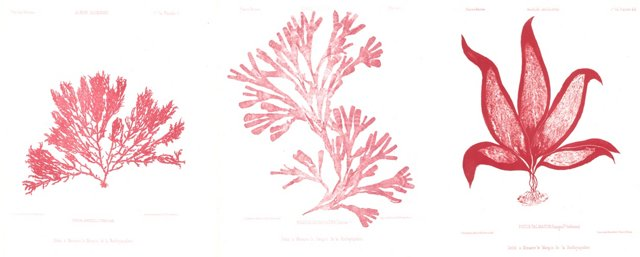 Red Seaweed Lithographs, 1856, S/3