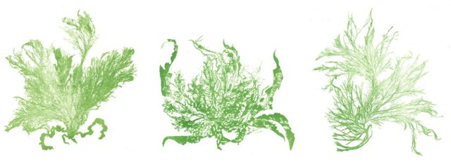 Green Seaweed Lithographs, 1856 S/3