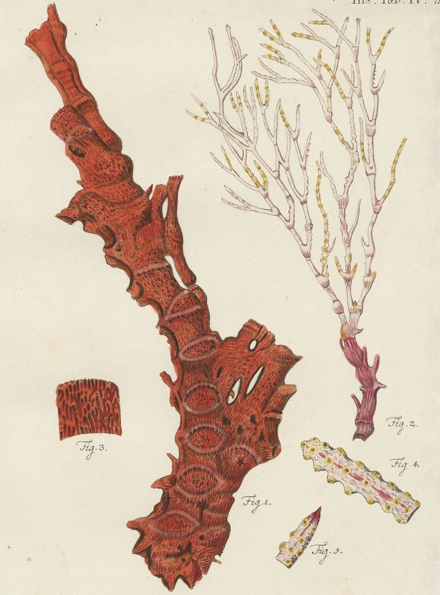 Red Isis Coral Engraving, 1791