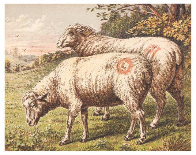 Chromolithograph of Sheep, C. 1872