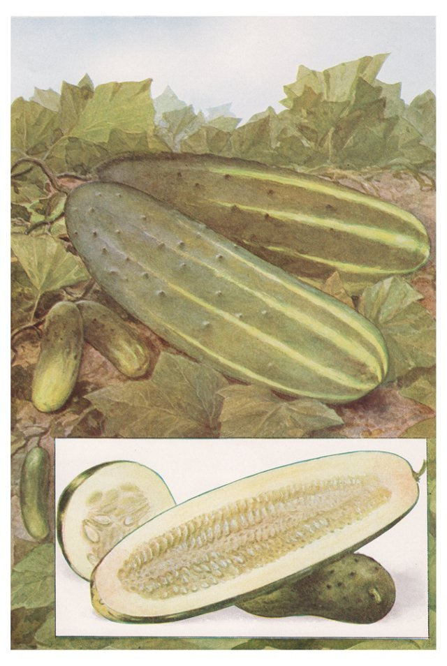 Lithograph of  Cucumbers, 1911