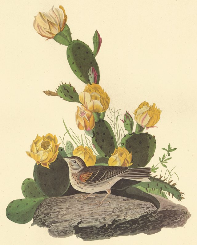 Grass Finch on a Cactus by Audubon