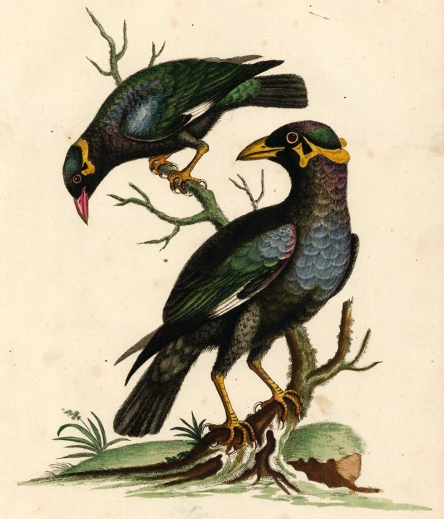 Hand-Colored Starling Engraving, C. 1760