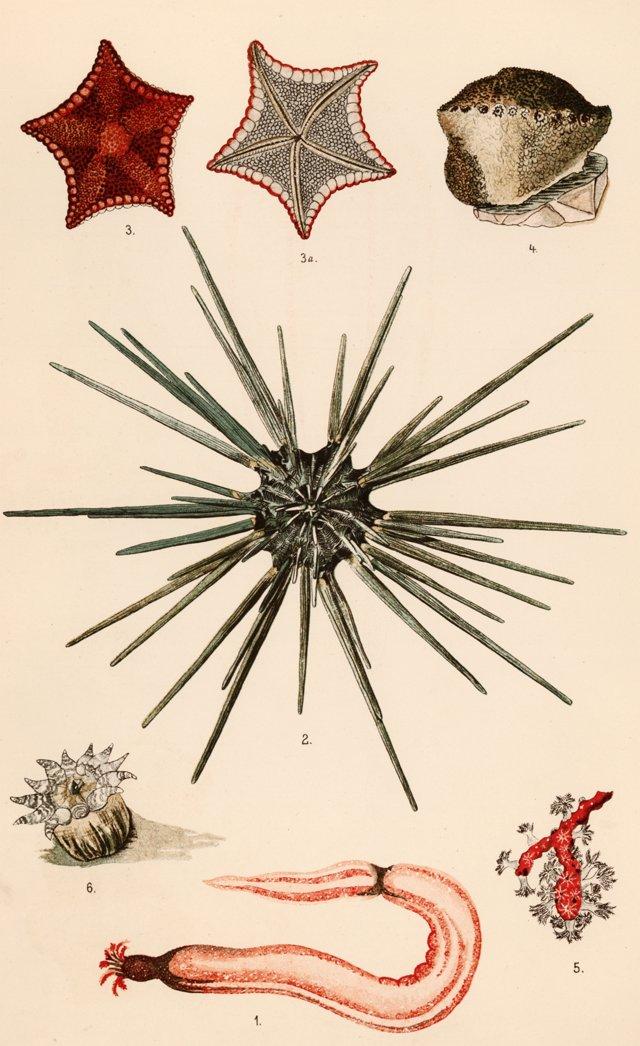 Longspine Urchin & Starfish, C. 1890