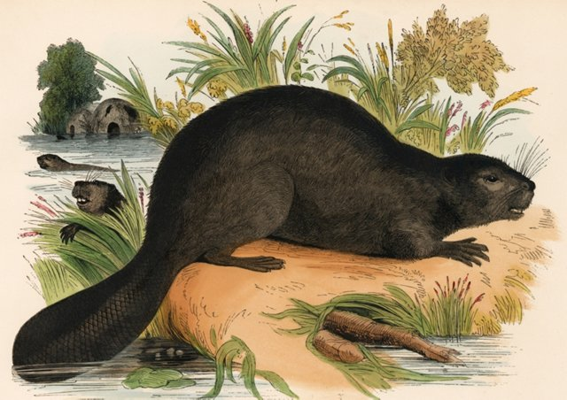 Hand-Colored Beaver Engraving, 1843