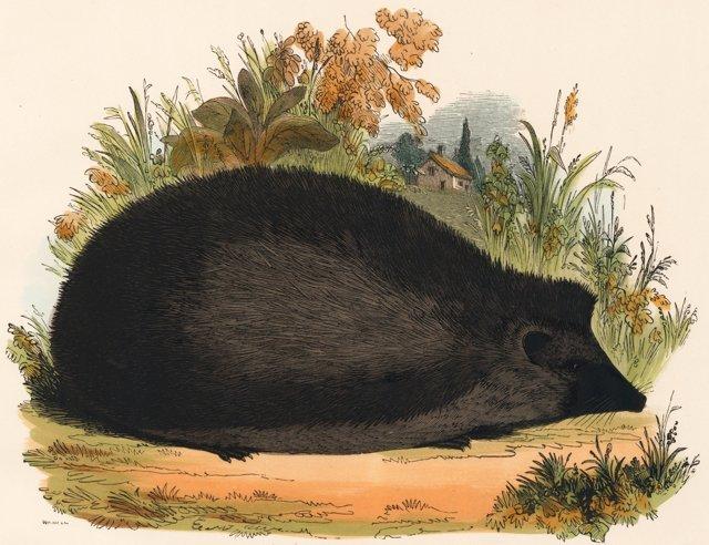 Hand-Colored Hedgehog Engraving, 1843
