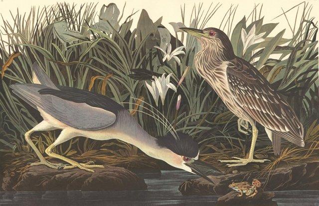 Night Herons by Audubon