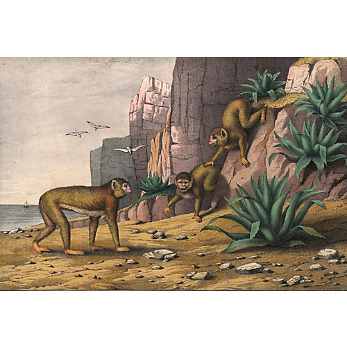 Hand-Colored Barbary Macaques, C. 1860