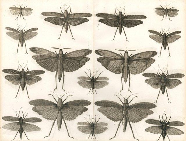 Engraving of Locusts by Seba, 1765