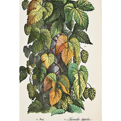 Hand-Colored Hop Vines, 1857