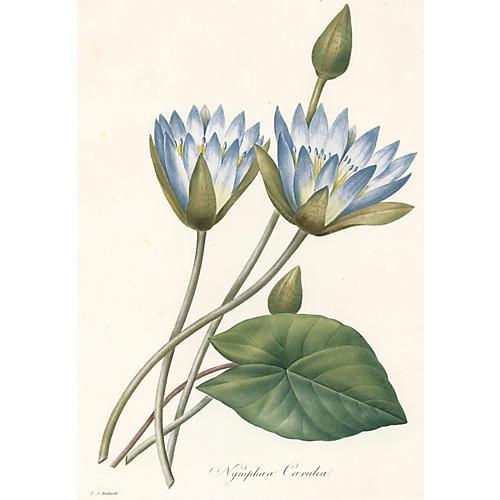 Blue Lotus by Pierre Redouté, C. 1830